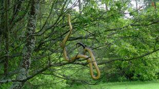 """Wąż dusiciel wił się na drzewie. Ta """"umiejętność zawsze zwracała uwagę"""""""