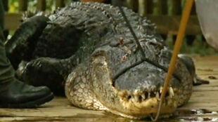 Zastrzelili aligatora, bo mógł zabić człowieka