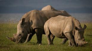 RPA ewakuuje nosorożce. To sposób na walkę z kłusownictwem