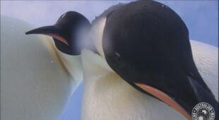 Pingwiny cesarskie przejęły kamerę